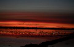 Sandhill Cranes at Sunset (Tony P Iwane) Tags: centralvalley crane migration sanjoaquincounty sandhillcrane silhouette statenislandpreserve sunset california antigonecanadensis