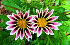 Colorful Twins (Stanley Zimny (Thank You for 31 Million views)) Tags: flower bronx botanical garden ny macro pink yellow twins color