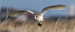 Barn owl with prey (ftm599) Tags: nikonphotography wildlifephotography naturephotography actionphotography nikon nature wildlife wild action hunting hunter vole prey flying bif birdofprey owls owl barnowl