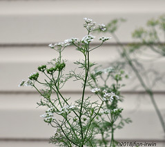 ODC--Flowering Now 3 (jfinnirwin) Tags: dill herbs flowering plants gardening odcfloweringnow elizabethnj