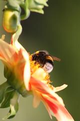 IMG_5496 (rekrutk) Tags: dahlia dahlien britzergarten hummel bumblebee