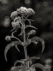 Nature vivante (Jean-Marie Lison - PC en panne... À bientôt) Tags: eos80d havay fleur noiretblanc monochrome nb macro