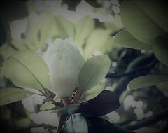 110 Film Magnolia Blossom (Neal3K) Tags: barnesvillega filmcamera georgia lomotiger200film pentaxauto110 subminiaturecamera