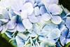 Hydrangea (wyojones) Tags: hawaii horticultre hydrangea hydrangeamacrophylla bluehydrangea bigisland volcanovillage pōpōhau pompomblooms plant plantgrowing flower