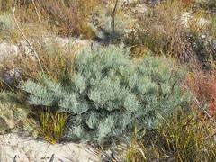 Allocasuarina pusilla 1 (barryaceae) Tags: little desert national park vic victoria aushp casuarinaceae order fagales australia