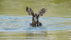 Moorhen fight (4/10) (Franck Zumella) Tags: moorhen galinule poule eau nature fight lutte water lake lac bataille duel black noir bird oiseau wildlife action color colors couleur