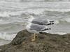 Larus michahellis (Merintia) Tags: campo26102017 playa canallave liencres larusmichahellis gaviotapatiamarilla