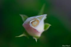 White rose (edzwa) Tags: chatswood newsouthwales australia au rose flower closeup macroflower macro canon100mmf28lmacro canon6dmarkii bokeh bokehlicious