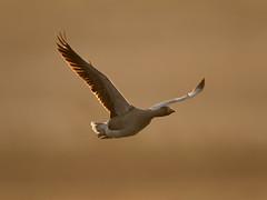 Greylag goose - April Dawn (Tony McLean) Tags: ©2018tonymclean tophilllow eastyorkshire naturephotography wildlifephotography nikond4 nikon500f4gvr greylaggoose dawn dawnlight