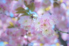 spring colour explosion (Tschissl) Tags: austria vintagelens frühling location steinheilcassar2850 steiermark österreich