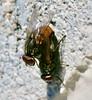 Flesh flies mating (REGOR NOTPUL) Tags: flesh flies mating glenburnie ontario