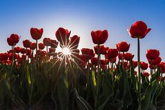 Starmaker! (karindebruin) Tags: dirksland goereeoverflakkee nederland thenetherlands tulips tulpen zuidholland star ster zon sun