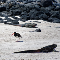 American Oyster Catcher and Marine Iguana (S Walker) Tags: galapagos islands south america chile wildlife nature american oyster catcher marine iguana bird lizard
