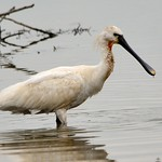 Spoonbill at Blacktoft thumbnail