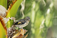 Juvenile Goldfinch in a palmtree (Corine Bliek) Tags: cardueliscarduelis vogel vogels bird birds nature young newborn small klein palmtree palmboom little wildlife juveniel juvenile jong