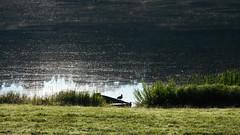 Nemunas River (41) (rimasjank) Tags: river bird duck nemunas birstonas lietuva serene