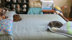 Gracie and Millie 2 July 2018 9969Ri 9x16 (edgarandron - Busy!) Tags: cat cats kitty kitties tabby tabbies cute feline gracie patchedtabby millie graytabby