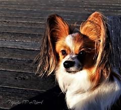 429. KFC FAN: Lushka (Meili-PP Hua 2) Tags: papillon dog papillondog photographypassionsxyz animals fauna nature mlpphfauna longhaireddog dogs pets pet animal portrait deck