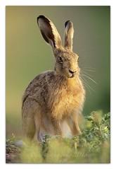 Big Ears... (cheffievrs) Tags: 1dxmarkii aperture3 borderfx brownhare canon crops ef600mmf4lisii european evening farm fullframe grassland lepuseuropaeus mammal notcropped wkwt
