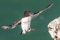 Breakfast Incoming (Phil Gower Bird Photography) Tags: razorbill seabird nature wildlife fish