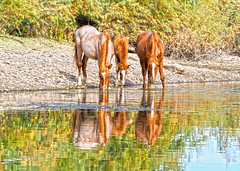 A Family Reflection (VGPhotoz) Tags: vgphotoz horses wildhorses wild family familyreflection nature naturephotography photoart arizona waterreflections river usa naturebeauty photography arizonahorses olympus