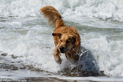 Water Dog (vmonk65) Tags: nikon nikond810 sylt water wasser ocean ozean meer hund dog color wave welle tier