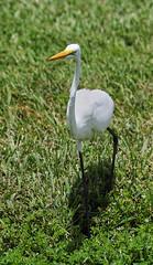 08-01-18-0029754 (Lake Worth) Tags: animal animals bird birds birdwatcher everglades southflorida feathers florida nature outdoor outdoors waterbirds wetlands wildlife wings