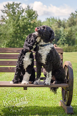 Picture of the Day (Keshet Kennels & Rescue) Tags: rescue kennel kennels adoption dog ottawa ontario canada keshet large breed dogs animal animals pet pets field tree forest nature photography portuguese water two pair couple snuggle cuddle kiss love bench sit