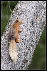 IMG_0037 Red Squirrel (Scotchjohnnie) Tags: redsquirrel sciurusvulgaris squirrel squirrelphotography rodent mammal wildanimal wildlife wildlifephotography wildandfree nature naturephotography naturewildlifeandbirds canon canoneos canon6d canonef70200mmf28lisiiusm scotchjohnnie