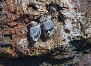 Kittiwake Gulls