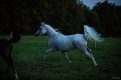 Blue Mare (Jen MacNeill) Tags: rozearabians arabian horse horses equine arab animal stable dark night twilight