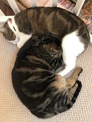 Formation Napping (AndyS03) Tags: cat cats cute pet pets animal furry sleepy napping nap sleep tabbycat