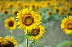 """Outstanding in a Field! "" by Jackie B. Elmore 8-30-2016 Jefferson Co. KY (jackiebelmore) Tags: nikond80 sunflower surreyhillsfarm jeffersonco kentucky jackiebelmore"