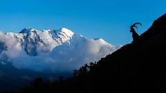 Alpine Ibex & Mont Blanc (kawaspresso) Tags: chamonix mountains mont blanc bouquetin alpine ibex sunset french alps savoie haute landscape lac cheserys chéserys snow glacier peak