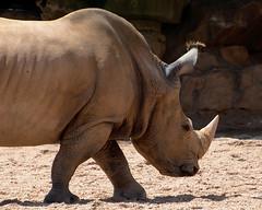 Southern white rhino (taylor_pj) Tags: bioparc ceratotheriumsimum