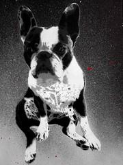 aby boulgogue (Jesus destroyeur) Tags: art ancien rocknroll bouldogue french bulldog illustration pochoir power stencil sombre dark drawing white coke cola coca blackandwhite blanc black dog noir