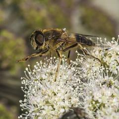 Cute (prajpix) Tags: hover hoverfly cute diptera wood woodland forest mimic insect bug macro closeup nature highlands scotland wild wildlife umbellifer fly naturephotography macromondays