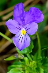 FIOŁEK DACKI (Viola dacica) 2 (goolary) Tags: flowers beskidy kwiaty przyroda góry