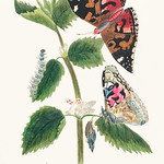 Antique watercolor illustration of nettle butterfly in various life stages published in 1824 by M.P. thumbnail