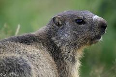 Profile of a Marmot (Luca Bobbiesi) Tags: animals nature marmotta trentinoaltoadige trentino vezzena roditori portrait canoneos7d canonef100400mmf4556lisusm