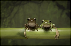 Who's the cutest? (Charles Connor) Tags: whitestreefrogs treefrogs frogs amphibians cute naturephotography nature exoticanimals canondslr