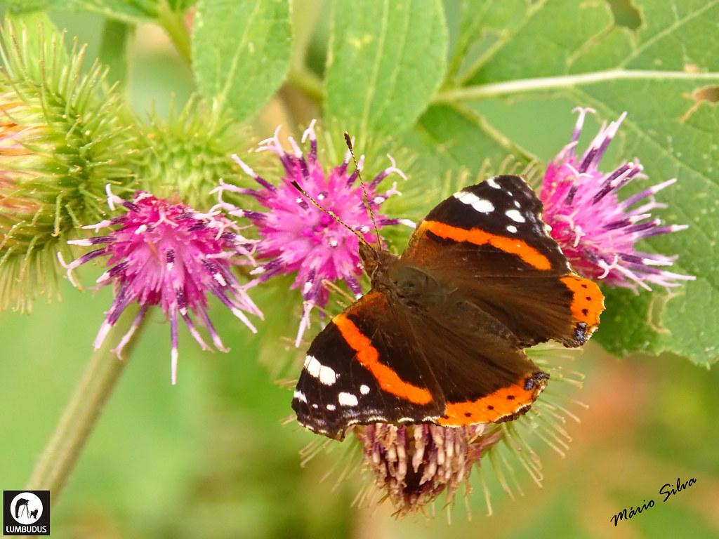Águas Frias (Chaves) - ... vistosa borboleta entre flores de cardos ...