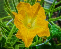 Zucchini Flower (Wade Brooks) Tags: 2018 july backyard pixel zucchini zuccini