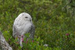Snowy Owl-SNP-18-6 (Ian L Winter) Tags: ianwinter ianwinterphoto irishloop nature newfoundland snp salmoniernaturepark snowyowl www wwwianwinterphotocom
