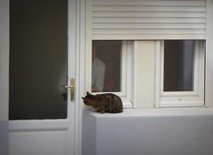 il arrive la bouffe! (fotomie2009) Tags: cat gatto chat animal fauna animale felino feline window finestra door porta davanzale series