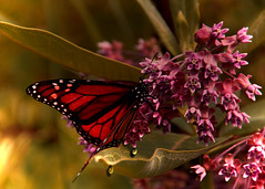 Taking in sweet nectar (Patricia McAtee - Photos of Maine) Tags: monarch butterfly milkweed nectar wildlife wildflowers field nature pinkflower