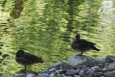 anatre o loro parenti (davide.alberani) Tags: imola parco park acqueminerali uccelli birds sony a6000