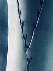 Agave Closeup #jcutrer (joncutrer) Tags: calm sharp abstract blue closeup macro royaltyfree creativecommons desert thorn leaves leaf plant agave blueagave iphoneography iphonex green texture light defense