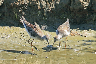 Lesser Yellowlegs 18-0806-0735