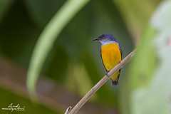 Orange Bellied Flowerpecker (Ard.Pixtures) Tags: explore bird birds birding birdphotography birdwatching birdwatcher flowerpecker nikon nikonflickraward nikkor d750 malaysia malaysiaphotography jungle aperture photography shutter iso forest nature wild wildlife orange green